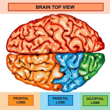 sistema nervioso central: Cerebro humano vista desde arriba