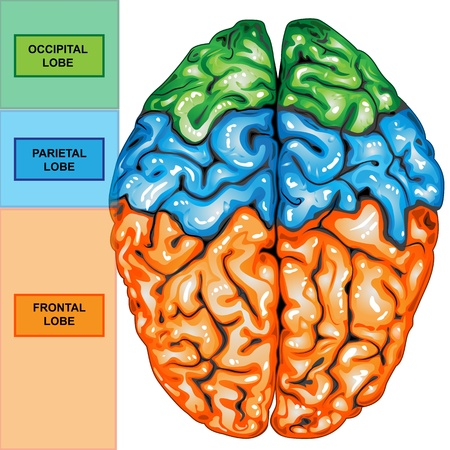 intelectual: Vista superior del cerebro humano