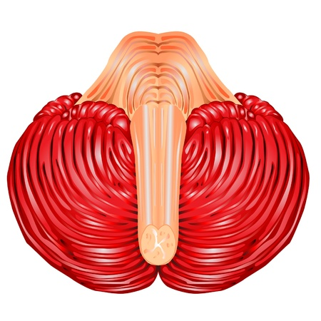 Cerebellum and medulla oblongata Stock Vector - 10889377