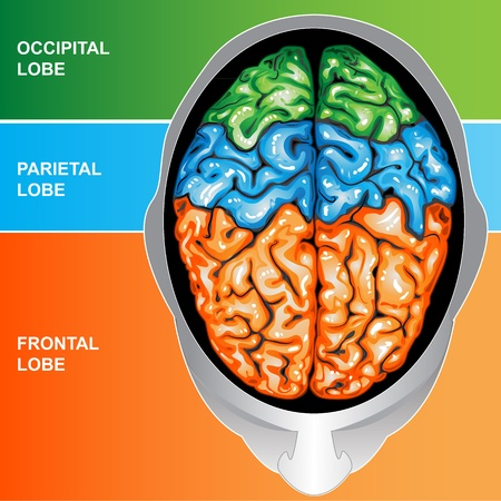 sistema nervioso central: Vista superior del cerebro humano