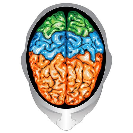 Anatomie Sammlung - Gehirn. Aquarell Organ Isoliert Auf Weißem ...