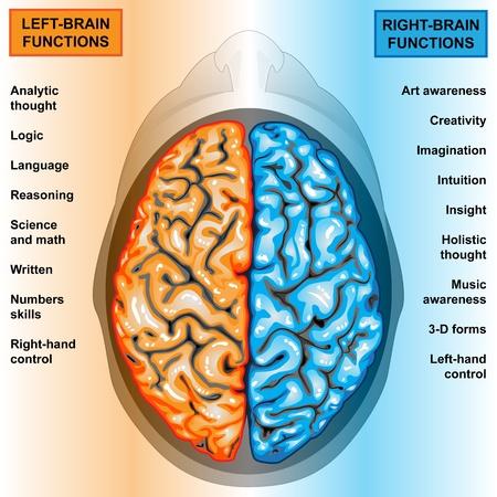 cerebro humano: Funciones de derecho e izquierdo del cerebro humano y