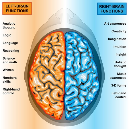 Human brain left and right functions Stock Photo - 11666756