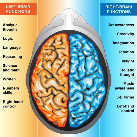 왼쪽 인간의 뇌와 우측 기능
