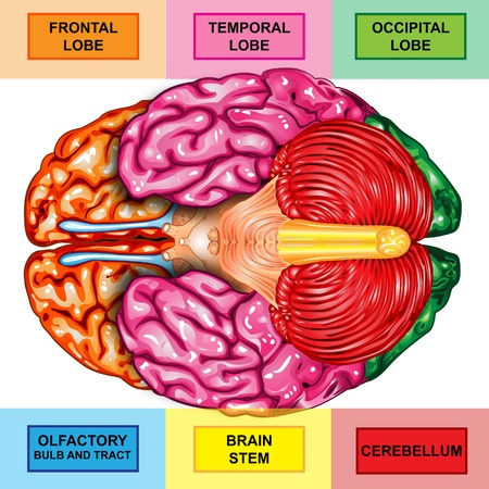 brain stem: Human brain underside view Stock Photo