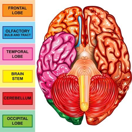 sistema nervioso central: Cerebro humano vista del lado inferior