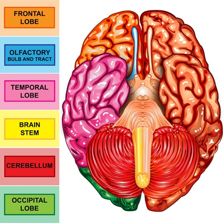 inferior: Human brain underside view Stock Photo