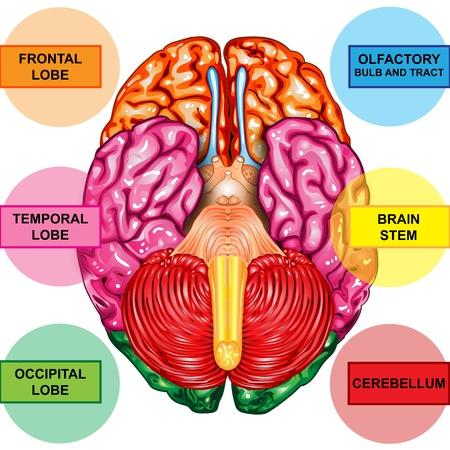 sistema nervioso central: Cerebro humano vista inferior Foto de archivo