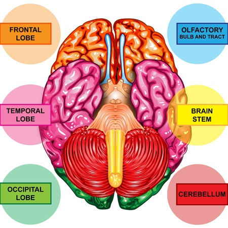 anatomy brain: Human brain underside view Stock Photo