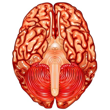 underside: Human brain underside view vector Illustration