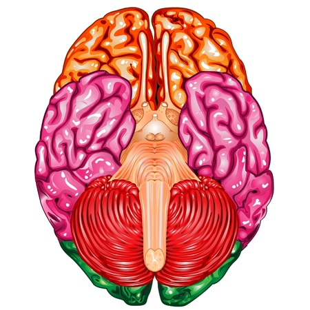 inferior: Human brain underside view vector Illustration