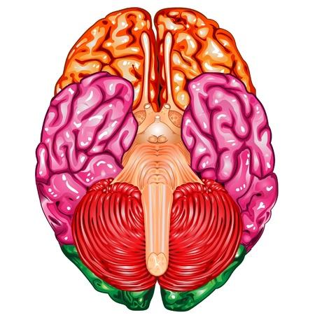 l�bulo: Parte inferior del cerebro humano vector de vista Vectores