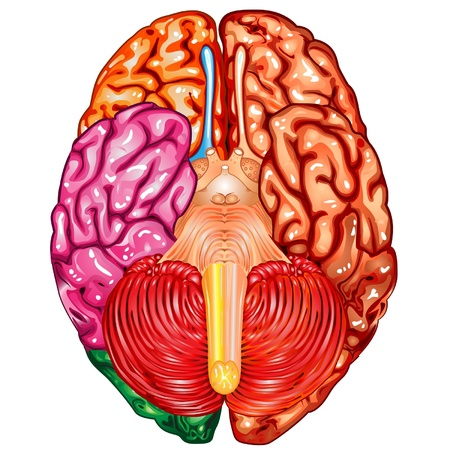 underside: Human brain underside view vector Illustration