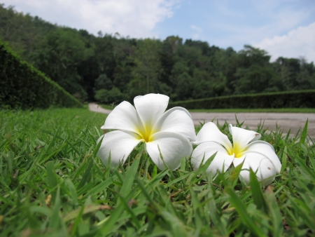 Closed up of white frangipani flowers fall on the grass areas  photo