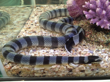 sea snake: Sea snake in aquarium glass