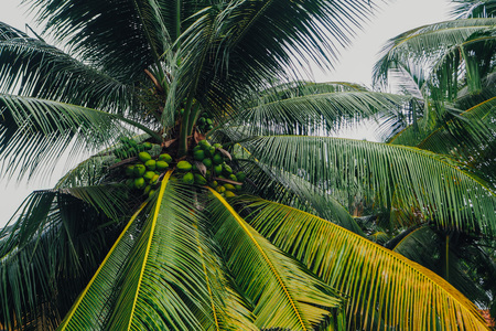 palm trees with coconuts Sri Lanka