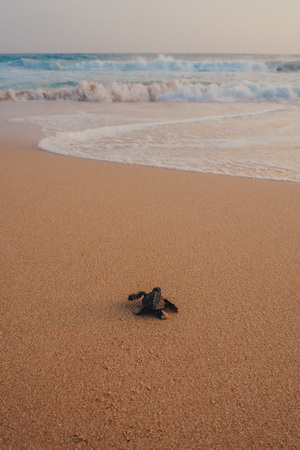 바다에 후퇴하는 작은 거북 스톡 콘텐츠 - 71895967