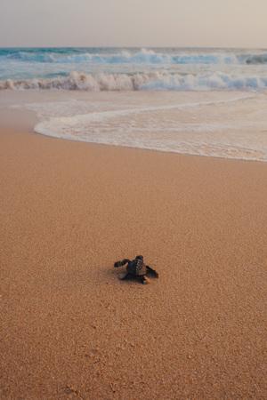 Kleine schildpadden naar de oceaan