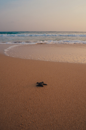 Small turtles backing to the ocean