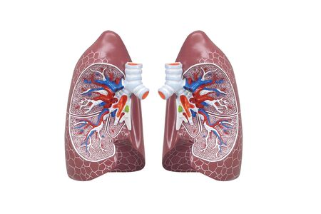 Human respiratory system model is show Lungs. Human physical model for education of anatomy. 3D Render Medical lung inner structure isolated on white background.
