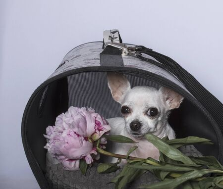 Chihuahua dog breed, white color, in a doghouse and with a peony