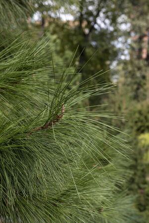Christmas trees in the forest. Close-up of a branch of a Christmas tree with large needles in a forest Stock Photo