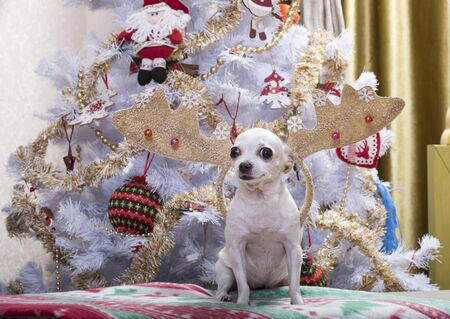 A dog of the Chihuahua breed sits on a plaid with New Years pictures against the backdrop of a Christmas tree and looks tensely to the side. The tree is decorated with garlands and decorations. On the dog - Christmas deer horns