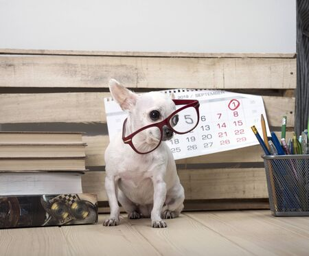 Day of knowledge. Teachers Day. September 1. Chihuahua dog breed in glasses, among books and with a wall calendar