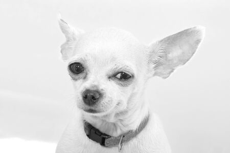 Black-white portrait of a Chihuahua breed dog. Close-up. The dog looks straight into the lens with a squint Foto de archivo