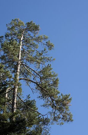 Bottom up view on a soggy pine tree and blue sky. Sunny weather. Clear sky.