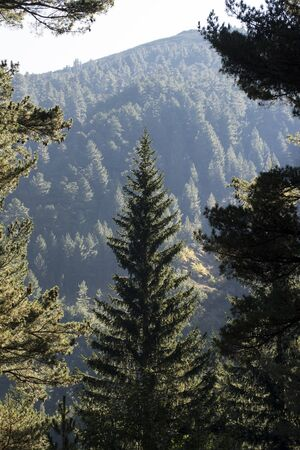 The mountains are covered with forest. A beautiful spruce in the center of the photo is backlit by sunlight. Mountains of the Pirin Natural Park. The surroundings of the mountain resort of Bansko, Bulgaria.