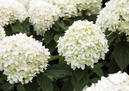 flowers. large buds of white color, consisting of many small white petals. 写真素材