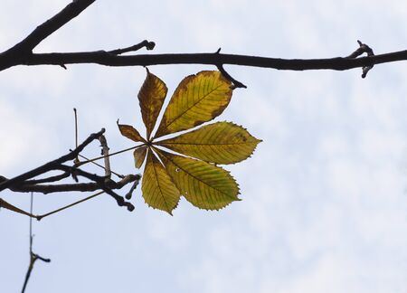 yellow bright autumn chestnut leaf on the branches of a tree against a transparent light sky. Autumn day. Banco de Imagens