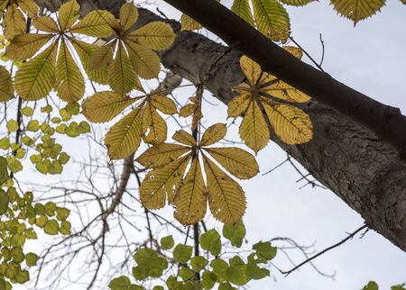 yellow bright autumn leaves of a chestnut tree on the branches of a tree against a transparent light sky. Autumn day. Banco de Imagens