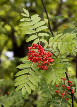 big bunch of red rowan on the branches with green foliage, forest. Summer autumn