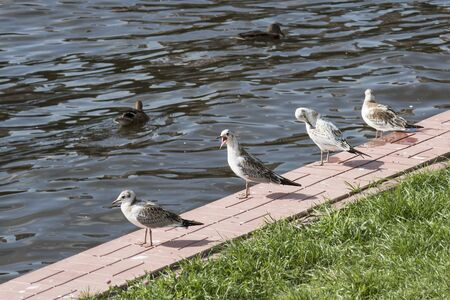 A few seagulls on the shore of the reservoir in sunny summer weather. One aik looks at the lens. Ducks swim in the water.
