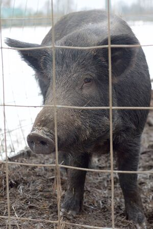 Winter, cold diffused light. A large black pig is standing in a cage and in front of it is a metal mesh with a large cell.