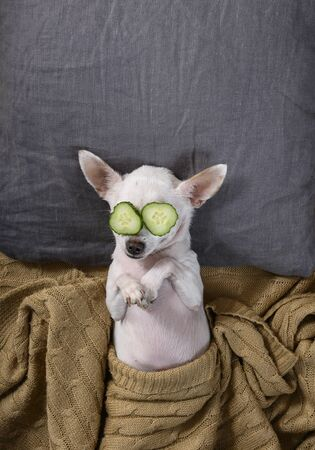 A beautiful small dog of the Chihuahua breed lies in bed on a pillow with its paws folded and covered with a blanket. On the eyes are slices of cucumbers for the SPA procedure. Studio, vertical frame. Imagens