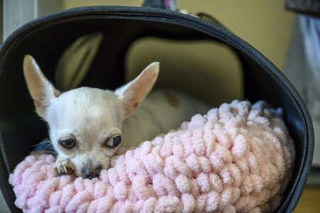 A beautiful little dog of Chihuahua breed is lying on a pink pillow in a portable booth. A sad look is directed to the side. Studio, horizontal frame.