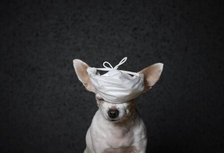 Close-up portrait. A small chihuahua dog is sitting with his eyes closed. A white gauze patch came over my eyes to protect me from a virus that looked like a cap. Black background, studio Reklamní fotografie
