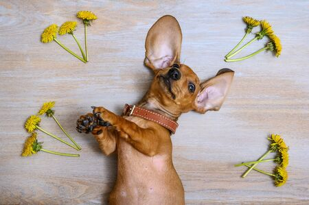The red-haired dachshund puppy lies crouched in the back on a vintage wooden surface and looks up spreading its ears. In the corners are yellow dandelions.