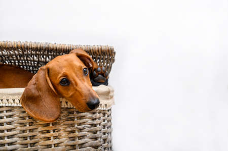 The dog Dachshund lies in the laundry basket with his head out from under the basket lid and looks thoughtfully to the side. Isolate.