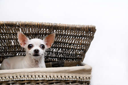 A Chihuahua dog sits in a laundry basket with interest peeks out from under the basket lid, lying on the laundry. Isolate.