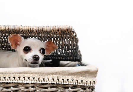 A Chihuahua dog sits in a laundry basket peeking out from under the basket lid with interest. Isolate, white background, wicker basket. Stockfoto