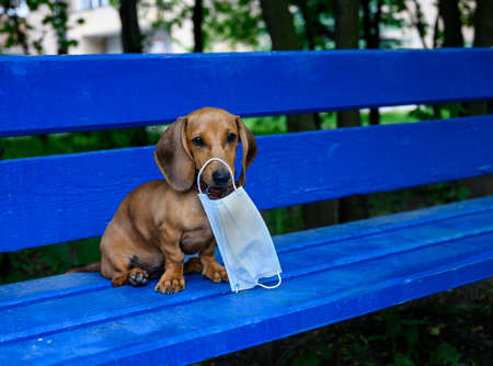 Dachshund puppy holds a protective mask against viruses in his teeth. A red-colored dog sits on a blue bench.