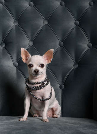 A white chihuahua sits on a turquoise chair in decoration and looks at the camera. The dog is wearing an adornment - black pearl beads. Shooting in the studio.