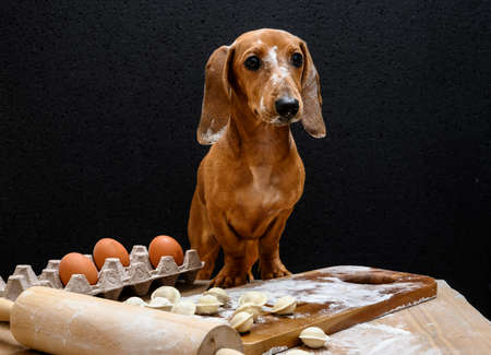 Dachshund, bewildered, looks to the side while sitting at a wooden table on which raw dumplings and eggs lie. The dog is red. Black background, studio shooting.
