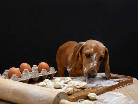 Red-haired dachshund sits at a wooden vintage table and licks flour from the table with his tongue. The table is covered with flour and raw dumplings and eggs lie on it.