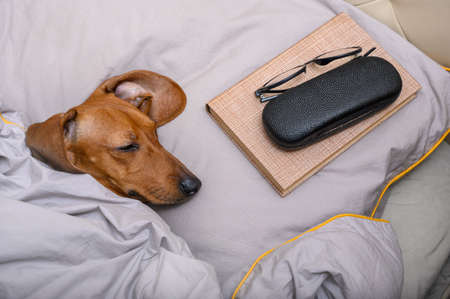 The dachshund dog lies in bed with his eyes closed and a book and glasses are covered with a blanket next to the dog. Bed linen in gray, horizontal frame. Stock fotó