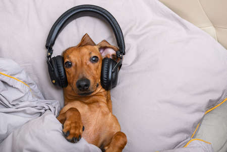 Dachshund dog listens to music on headphones while lying in bed on a pillow and looks attentively at the camera covered with a blanket. The horizontal frame and bedding are gray